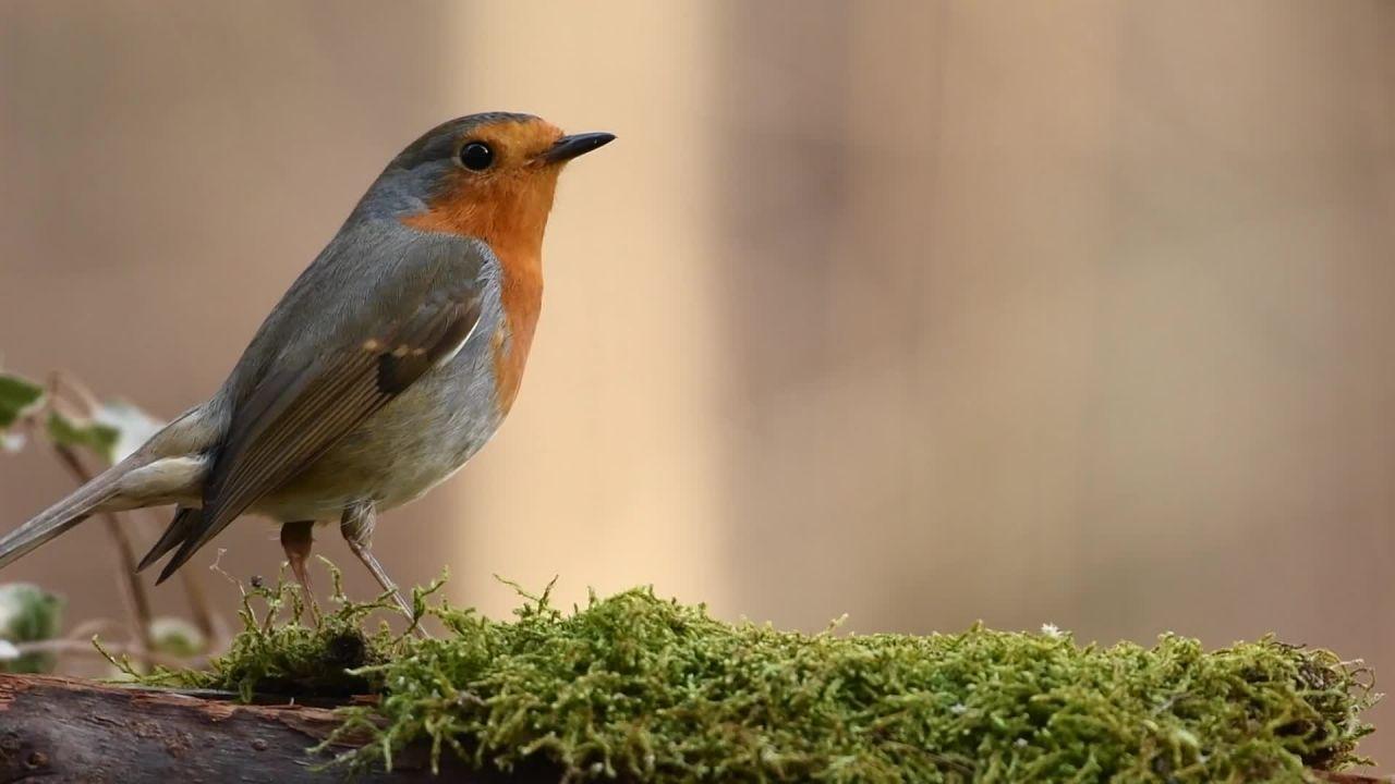 Robin - 21723